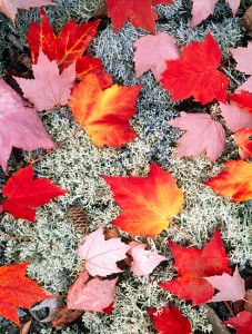 Maple Leaves
