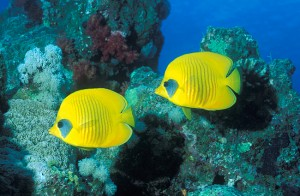 Yellow fish in Red Sea
