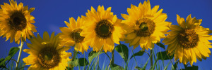 Color Photography, Sunflowers